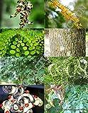 Adenanthera Pavonina exotic Red Sandalwood rare red bead wood saga tree 50 seeds