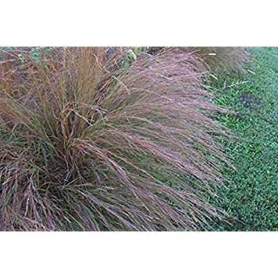 300 seeds Ornamental BIG BLUESTEM GRASS Beardgrass Seeds : Garden & Outdoor