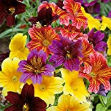 """PAINTED TONGUE ~Mixed Colors~ """"Salpiglossis Sinuata"""" 25+Annual Seeds 21"""