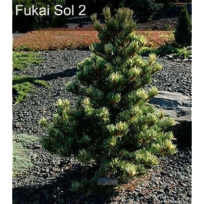 Pinus parviflora Fukai 2 - Year Live Plant : Garden & Outdoor