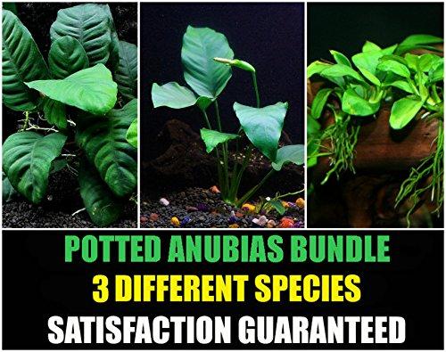 Potted Anubias Bundle - 3 Species - Barteri, Coffeefolia, Nana - Easy Aquarium Plants