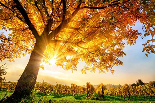 Sunlight Through Gold Tree on a Vineyard in Autumn Photo Art Print Poster 36x24 inch