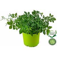 """Jiaogulan Pflanze Gynostemma pentaphyllum""""vegetativ durch Steckling vermehrt"""" Kraut der Unsterblichkeit !"""