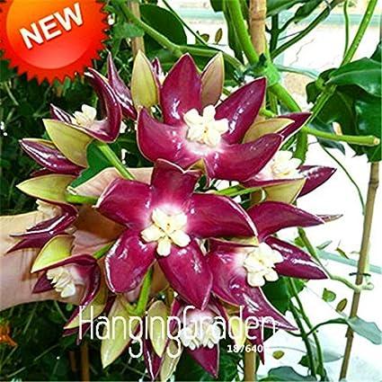 Amazoncom Salehoya Seeds Potted Hoya Carnosa Flower Seed Garden