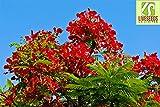 Liveseeds - Royal Poinciana, Flamboyant Tree, Flame Tree, Peacock Flower, Gulmohar 5 Seeds