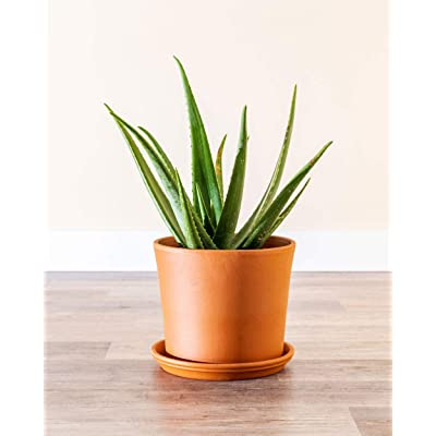 PlantVine Aloe Vera, Medicinal Aloe - Extra Large - 12-14 Inch Pot (7 Gallon), Live Indoor Plant : Garden & Outdoor