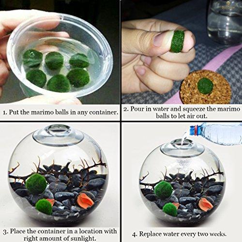 Marimo Musgo Ball X 5 + 1 GRATIS. -Live raro decoración fácil planta. Son la vida bola de musgo. (envío desde Reino Unido) Just colocarlos en cualquier ...