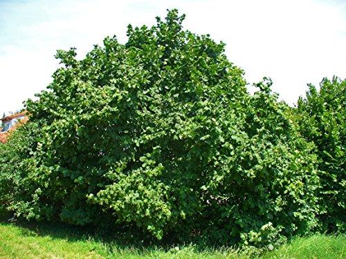 hazelnut-bare-root-trees-healthy-18-24-plants-3-pack-with-bonus