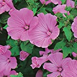 Kings Seeds - Lavatera Silver Cup - 100 Seeds