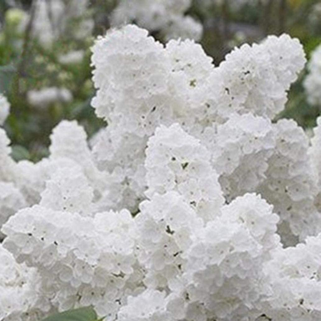 Uticon Semillas 50pcs Blanca Japonesa Lila Clavo Jard¨ªN De La Flor Balc¨®N Decoraci¨®N Bonsai - Semillas Japonesa Lila Tree