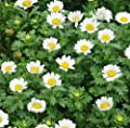 5000 Creeping Daisy Seeds - Annual, Full Sun Daisy