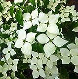 'Greensleeves' Flowering Dogwood, Cornus kousa. Flowers in 1-2 years. 3-4' plant