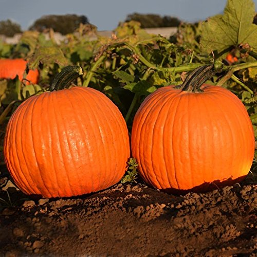Pumpkin Orange Sunrise - Vegetable Seeds - Farmore Treated Seed - 100 Seeds
