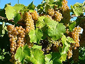 1 Starter Plant of Niagara Grapes in 2 yo Stockt