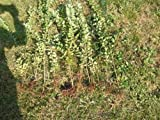 WOW! 20 Live TOPIARY Privet Shrubs (1ft+) For Hedges (20ct) for 20ft Hedge