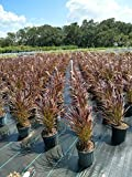 PlantVine Pennisetum advena 'Rubrum', Fountain Grass Red - 10 Inch Pot (3 Gallon), Live Plant - 4 Pack