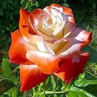 diaped 100pcs/Sac Graines Semences de Fleurs Rosier, Rose Multicolores Seed Plantes Vivaces Graines à Planter Plante Rare Bonsaï de Jardin Balcon