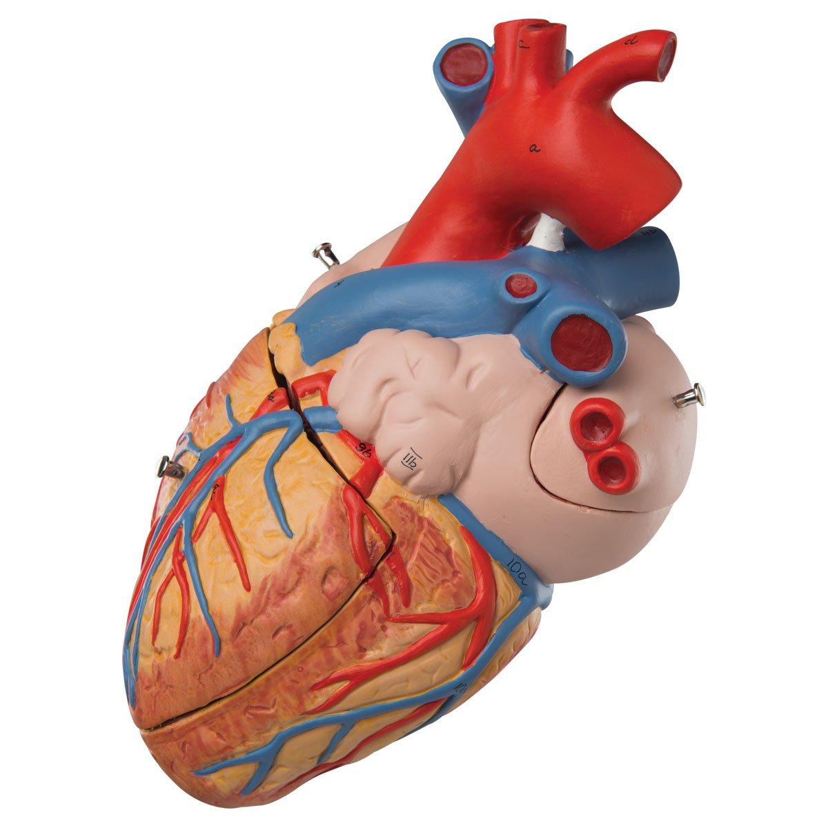 3B Scientific Menschliche Anatomie - Herzmodell, 2-fache Größe, 4 ...