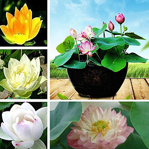 20 Seeds Lotus Nymphaea Asian Water Lily Pad Flower Pond Seeds Potted Flowers