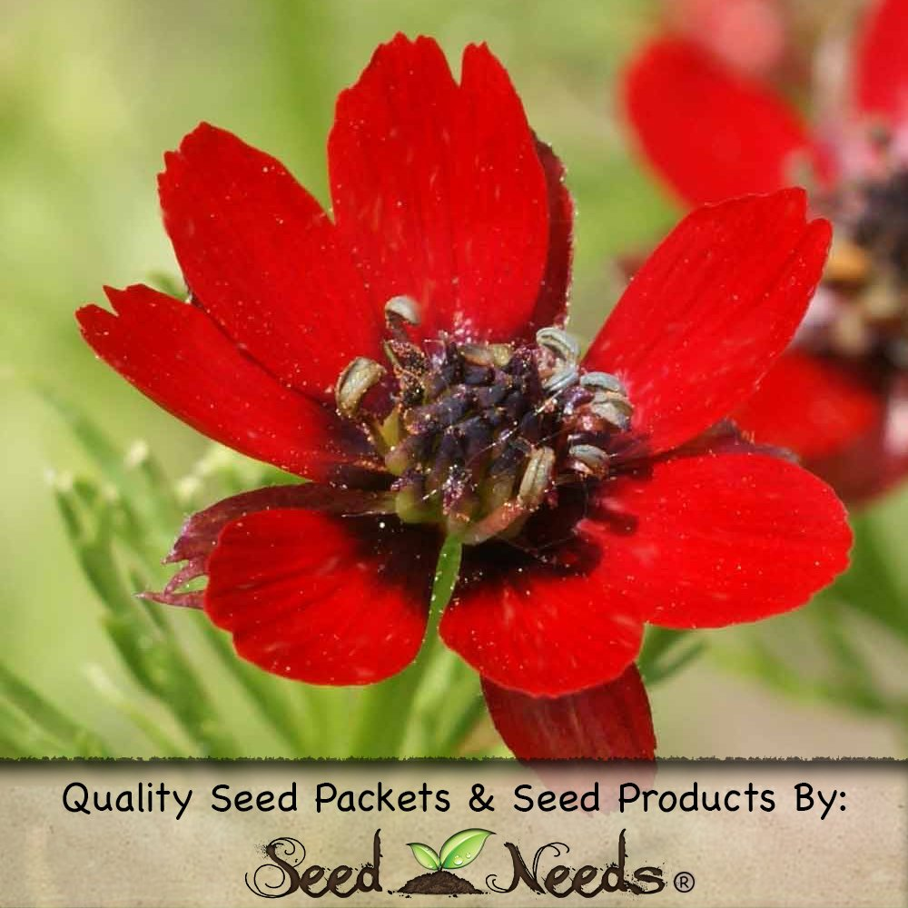 200 Seeds, Pheasant's Eye Flower Seeds (Adonis aestivalis) Seeds by Seed Needs