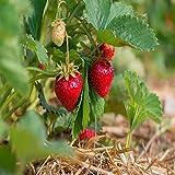 Quinalt Everbearing 100 live Strawberry Plants, NON GMO,