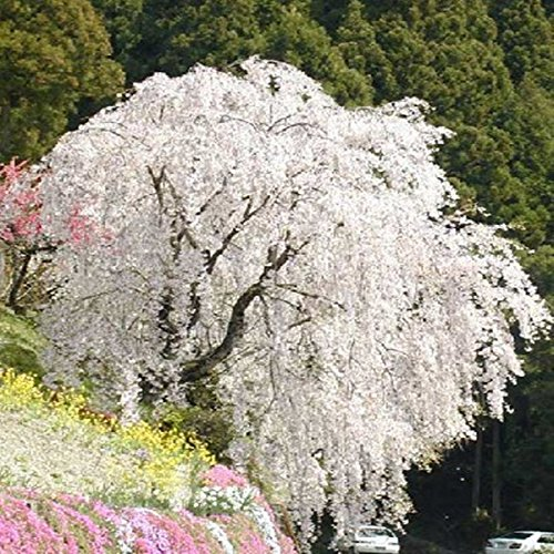 White fountain weeping cherry tree seeds,DIY Home Garden Dwarf Tree,Beautiful and elegant flower seeds garden plant - 10pcs/lot (Cherry White Tree)