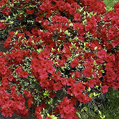 Cottage Hill Azalea 'Christina' - 2 Piece Live Plant, Red Blooms : Garden & Outdoor