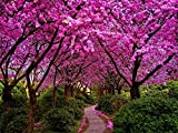 Cercis siliquastrum (Judas tree) - 100+ Seeds Bonsai