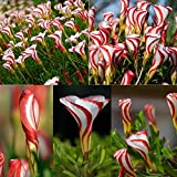 Homeofying 100Pcs Oxalis Versicolor Flowers Seeds Rare Flowers Garden Home Plants Decor