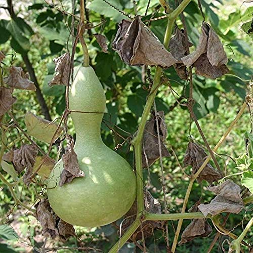 David's Garden Seeds Gourd Birdhouse SL8337 (Green) 50 Non-GMO, Heirloom Seeds