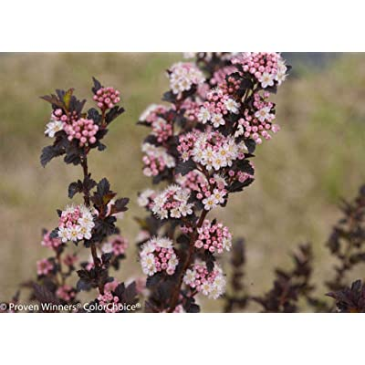 "AchmadAnam - 4"" Pot - Tiny Wine Ninebark Perennial Shrub - Physocarpus - Proven Winners, Plant, Bush, Shrub : Garden & Outdoor"