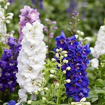 Pacific Giants Delphinium - 50 Seeds, 200 mg : Flowering Plants : Garden & Outdoor