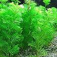 (水草) カボンバ 金魚藻<10本>メダカ 国産 カモンバ