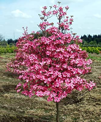 *exotic*10 Red Dogwood Tree Seeds #1193b**