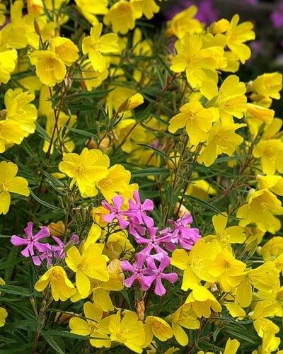 Amazon new 30 fragrant yellow phlox flower seeds shade 30 fragrant yellow phlox flower seeds shade perennial mightylinksfo