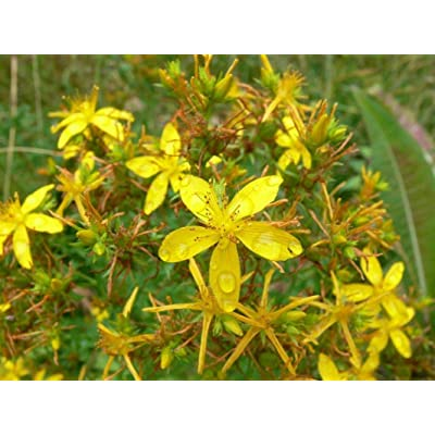 St. John's Wort Seeds - Fragrant yellow flowers..Very easy to grow!!!!(25 - Seeds) : Garden & Outdoor