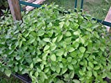 2 CATNIP Live Plants Herb Plant Non-GMO Organic - TWO [2] LIVE PLANTS fit 3.5 Inches Pot - w FREE GIFT Green Selfwatering Pot - From Bellacia Garden