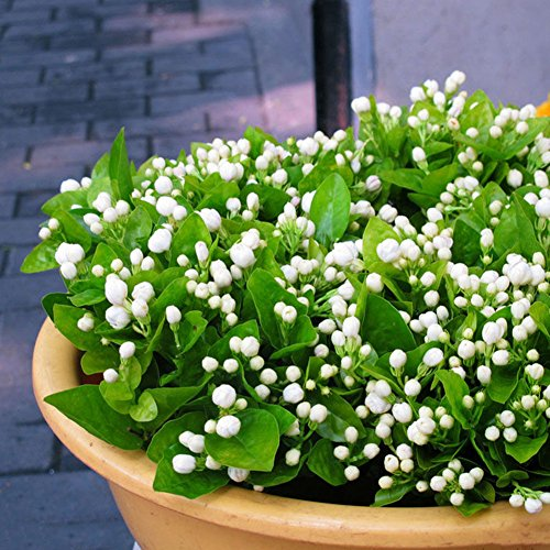 rainbow25 100Pcs Jasmine Flower Seeds Fragrant Home Garden Plant Seed Wedding Party Decor