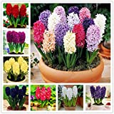 True Hyacinthus orientalis Seeds Hyacinth Flower Hyacinth Flower Good Quality 50 Seeds MIX #32797258053ST