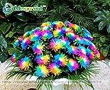 Hot Sale! 100PC Rainbow Chrysanthemum Flower Seeds, Ornamental Bonsai, Rare Color ,New Choose More Chrysanthemum Seeds Garden Flower Plant
