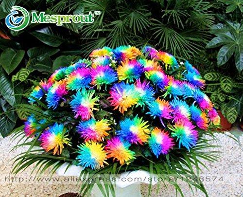 Flower Choose Color (Hot Sale! 100PC Rainbow Chrysanthemum Flower Seeds, Ornamental Bonsai, Rare Color ,New Choose More Chrysanthemum Seeds Garden Flower Plant)