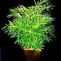 Bamboo Palm 10 Seeds - Chamaedorea florida