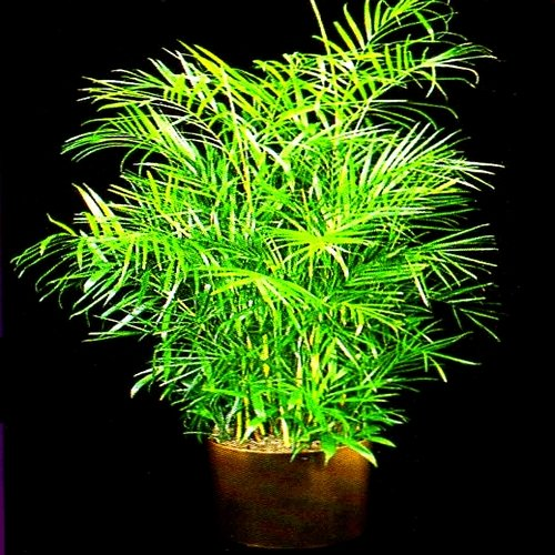 BAMBOO PALM chamaedorea florida hybrid 50 ()