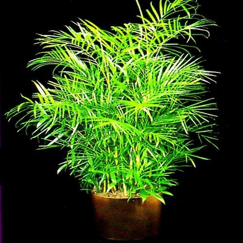 BAMBOO PALM chamaedorea florida hybrid 50 seeds Bamboo Palm Seeds