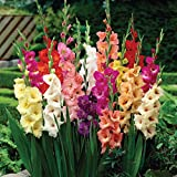 Van Zyverden Large Flowering Rainbow Mixed Gladiolus Bulbs (Set of 50)