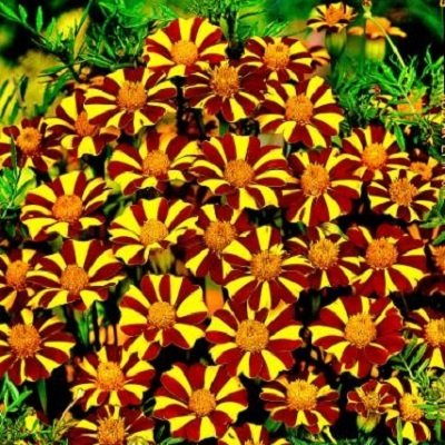 French Marigold Seeds - Court Jester - Packet, Summer/Unique Red and Yellow Striped Pattern, Flower Seeds