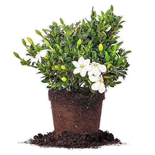 KLEIMS Hardy Gardenia - Size: 1 Gallon, Live Plant, Includes Special Blend Fertilizer & Planting Guide