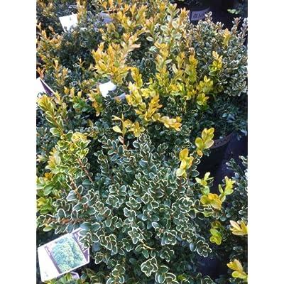 Green Velvet Boxwood (Buxus 'Green Velvet') : Shrub Plants : Garden & Outdoor