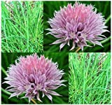 400 CHIVES seeds ~ FRENCH CULINARY HERB - Allium FINE HERBS ~ ONION CHIVES ~