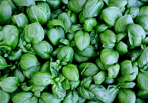 3900mg Lettuce Leaf Basil Seeds 2300 Ct Basil Lettuce Leaf
